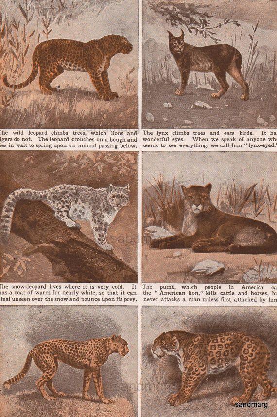 Cat Family: Lynx, Snow Leopard, Puma Cheetah Jaguar 1900
