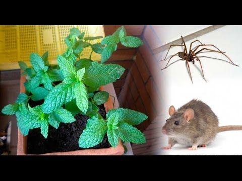 esta simple planta en su casa y usted nunca volvera a ver ratones