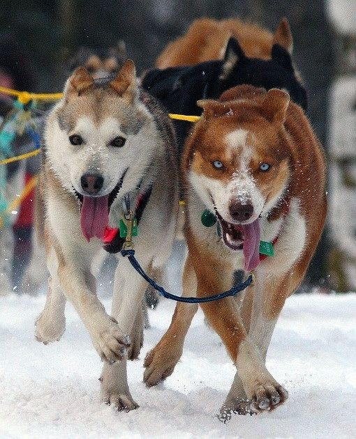 The Dogs Of Iditarod Popular Dog Breeds Dog Sledding Dog Breeds