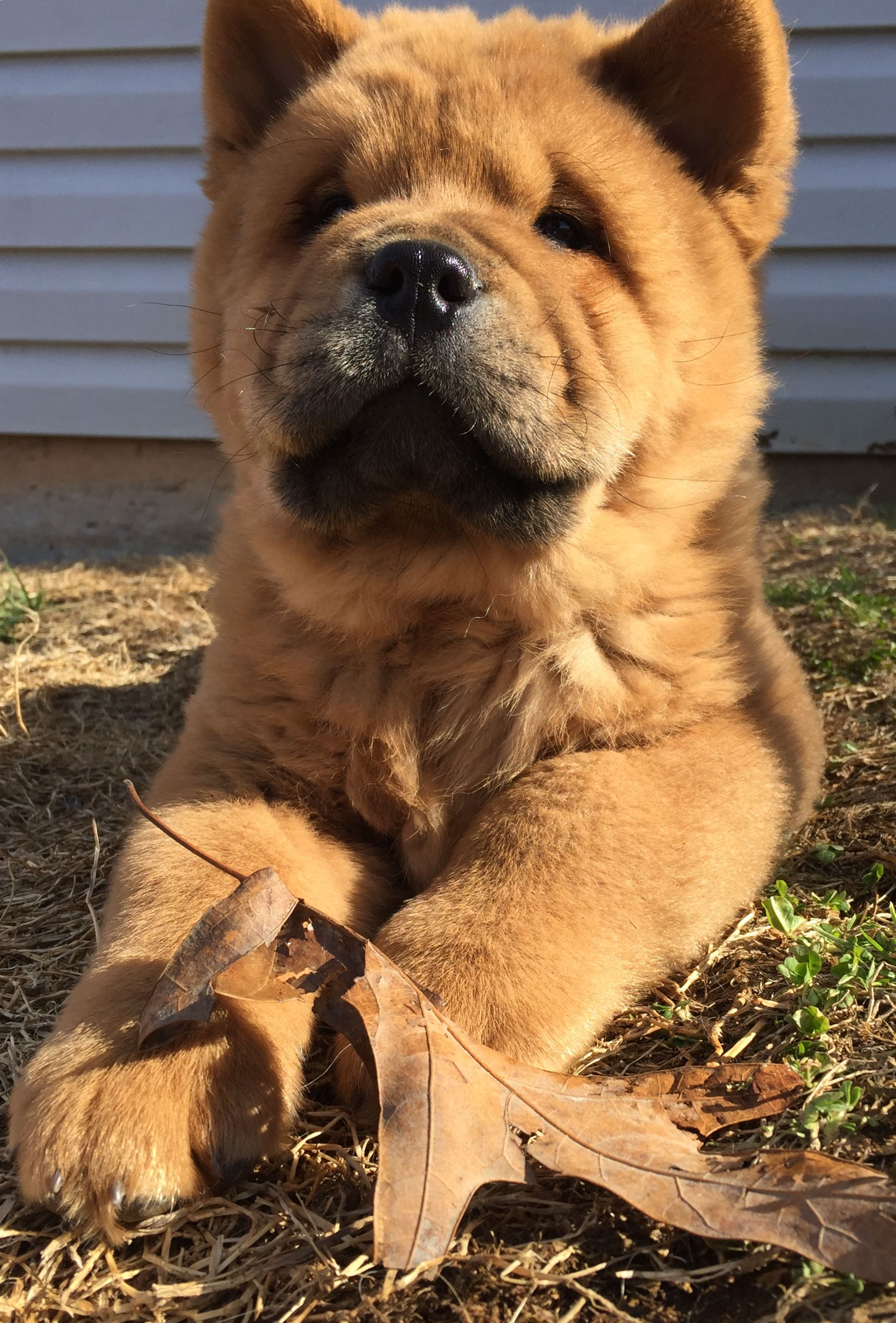 Sebastian Red Smooth Chow Chow Fluffy Dogs