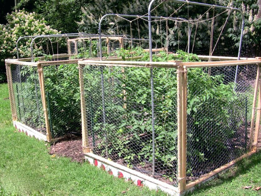 Squirrel Proof Vegetable Garden Caged Tomatoes Squirrel Proof