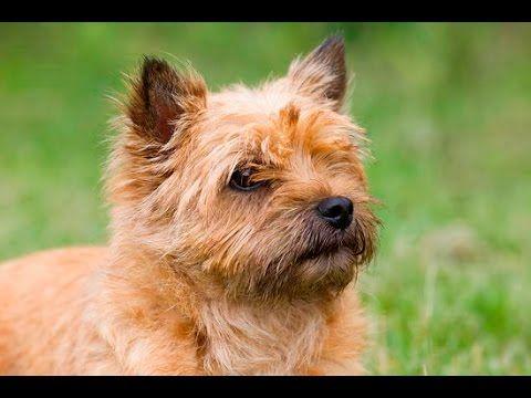 Grooming Guide Cairn Terrier Pet Trim Pro Groomer Youtube