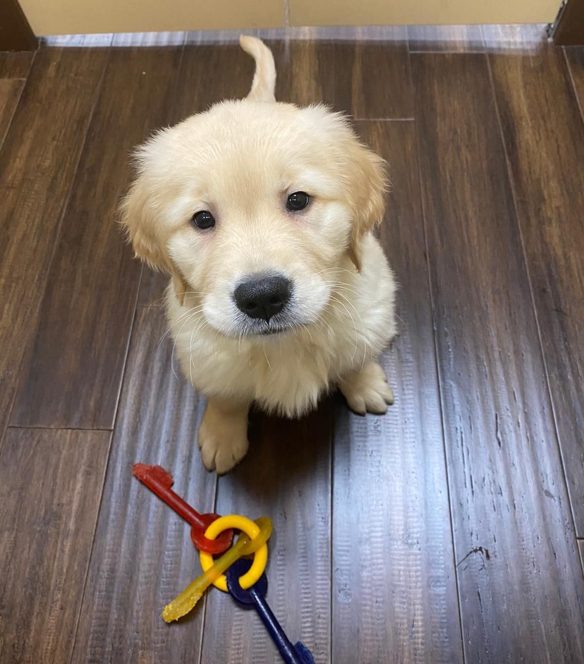 Petland puppies for sale near me