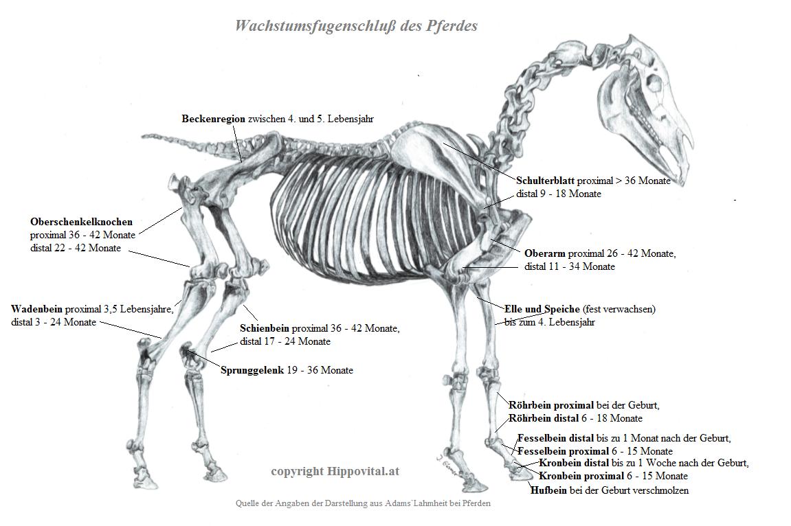 Tolle Anatomie Des Pferdes Huf Und Bein Ideen - Anatomie Von ...