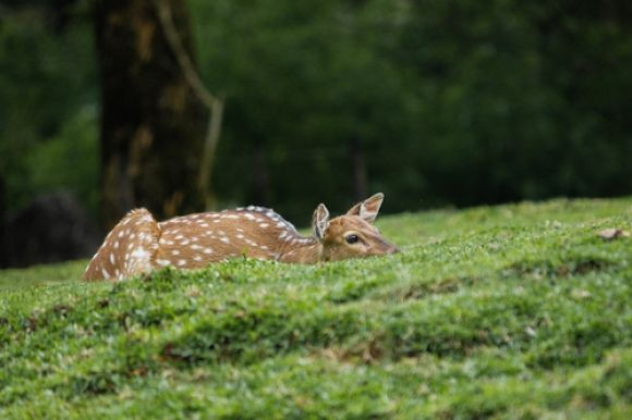 beautiful deer laying on the grass