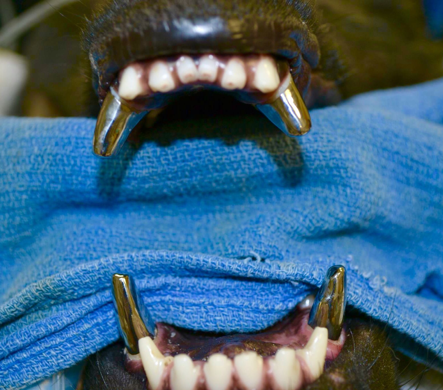 The gallery for --> Army Dogs With Titanium Teeth