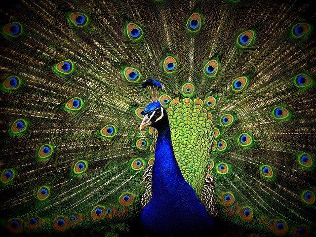 770 Koleksi Gambar Burung Merak Paling Cantik Di Dunia Gratis Terbaik