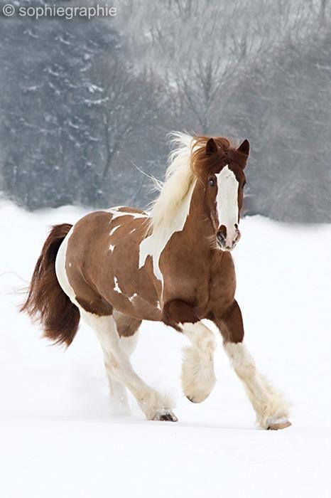 Sophie Graphie More Mit Bildern Pferde Rassen Pferderassen Schone Pferde