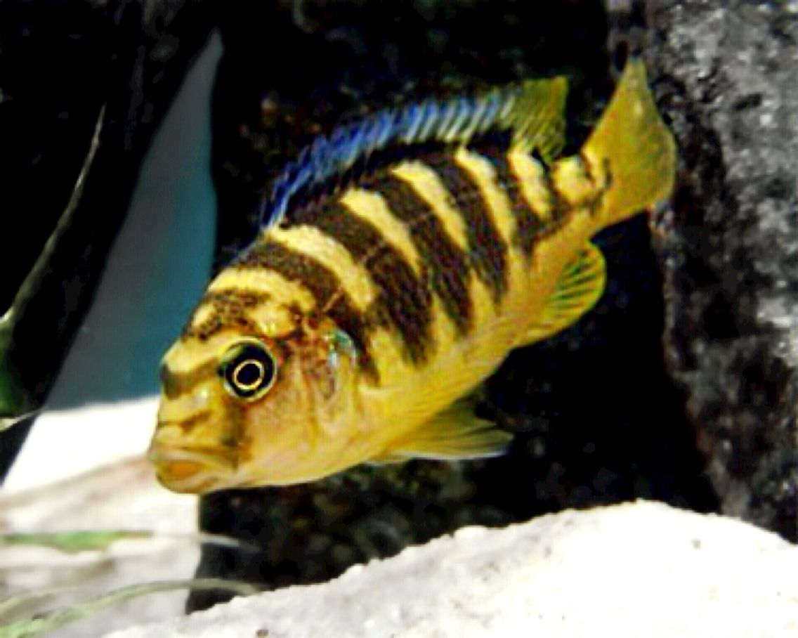 Common names bumble bee hornet scientific name for African cichlid fish
