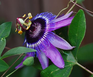 Passiflora Loefgrenii X Caerulea Tough Fast Gorgeous 4 Blooms Large Upward Facing Flower Blooms Most Of T Passiflora Tropical Flower Plants Caerulea