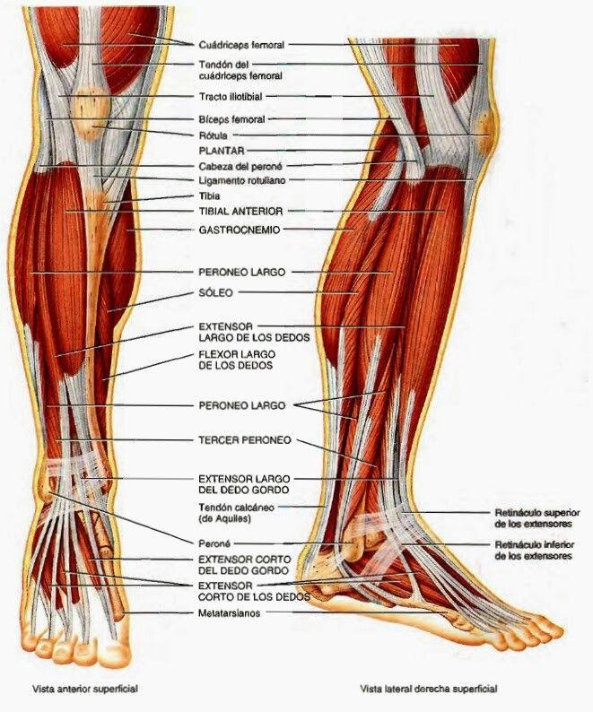Detalle frontal muscularura tibia perone | Anatomy | Pinterest ...