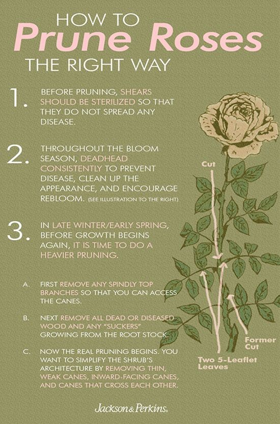 Prune Roses The Right Way Rose Garden Design Flower Garden Growing Roses