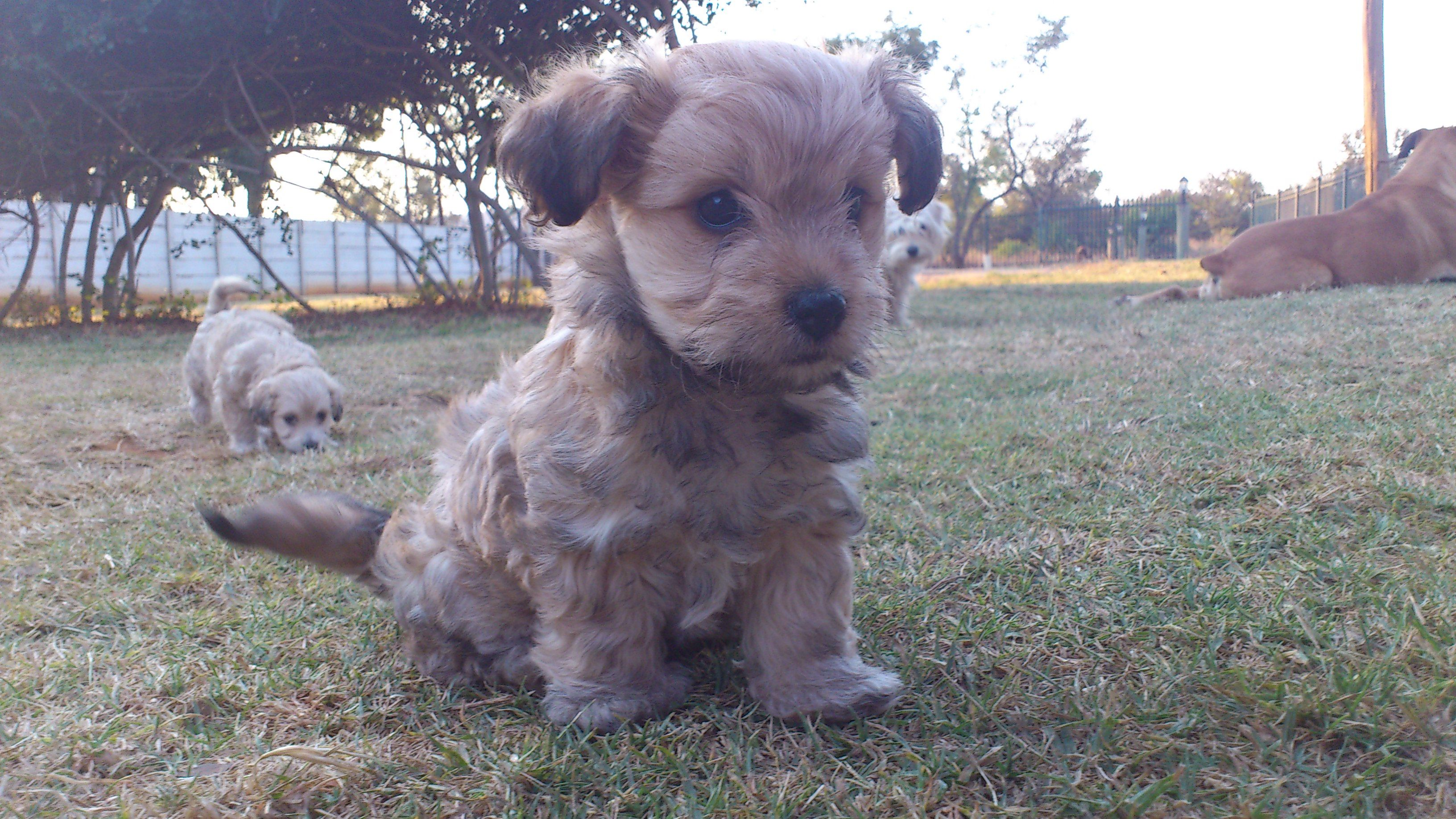 Fox Terrier Maltese Dogs And Puppies