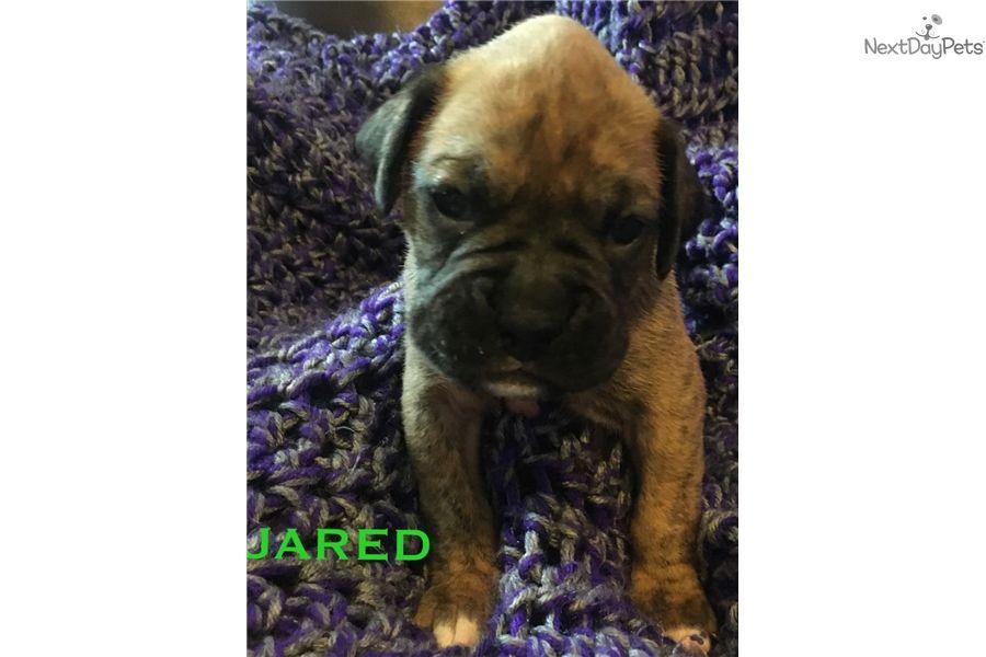 AKC Boxer Puppy Boxer puppy, Male boxers, Boxers for sale