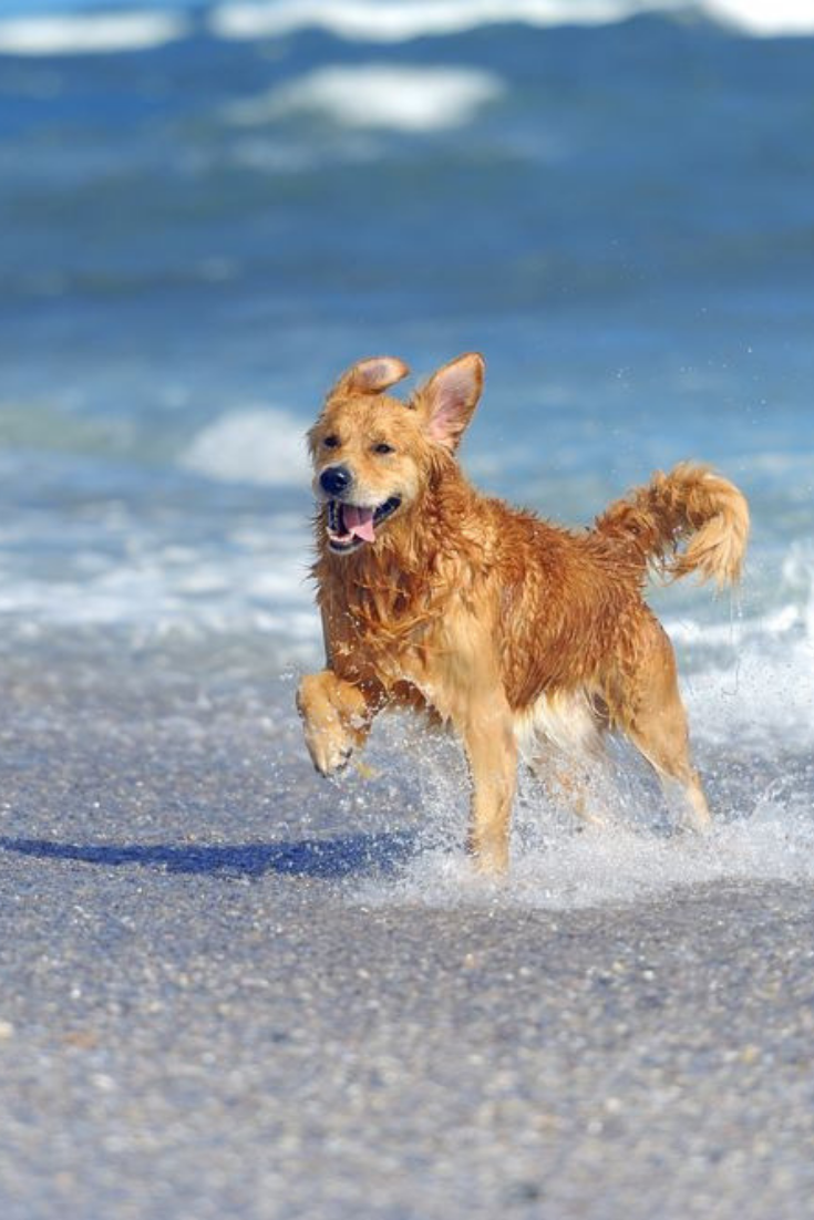 Young Golden Retriever Running On The Beach Goldenretriever