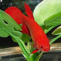 Choosing plants for your betta tank java fern and eelgrass for Live plants for betta fish