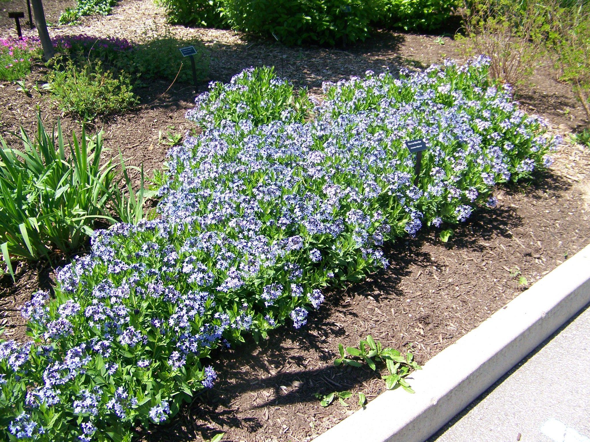 Blue Star Flower For Garden Garden North Walk Pinterest