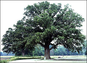 An awesome tree We will climb its limbs take refuge in its