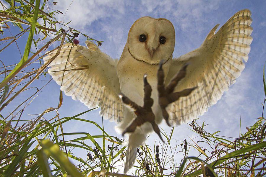 Barn owl (Tyto alba) Conservation status: green Height ...