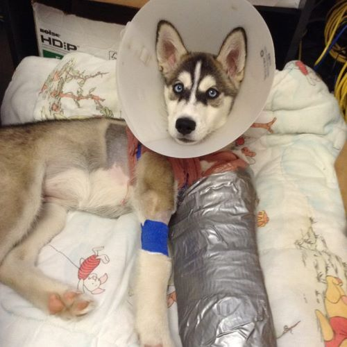 Nova The Siberian Husky Puppy Was Accidentally Hit By A Car Last