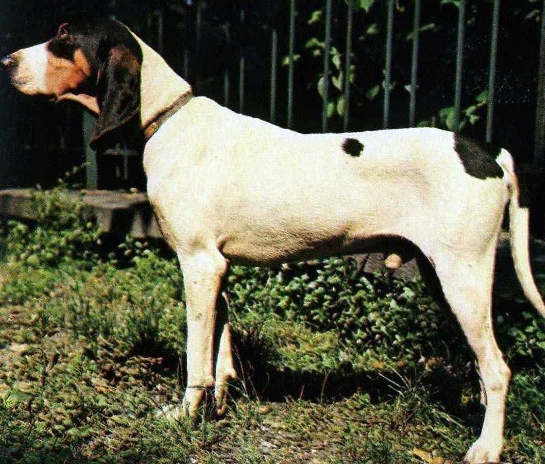 Ariegeois The Ariegeois Is A Breed Of Dog From The Departement