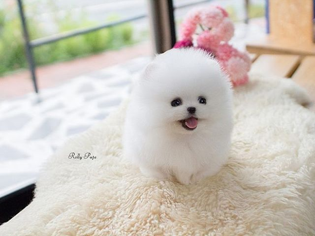 Tiffany Ice White Teacup Pomeranian Female Is Here Rollyteacuppuppies Lovely Fluffy Coat And Great Personality She Cute Animals Cute Pomeranian Teacup Puppies