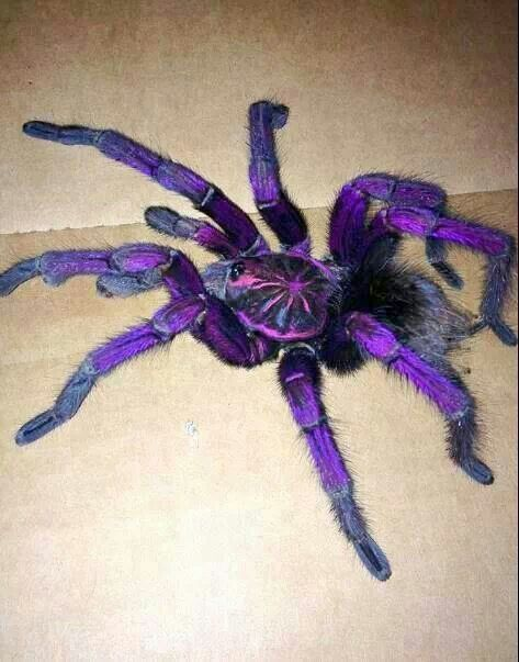 Purple Bloom Taranchulai Dnt Like Spidyz But Thisn Is Purdyi Still Wont Hold It Thow