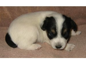 Jack Russell Terrier Puppy In White And Black Jpg 5 Comments Jack Russell Terrier Puppies Jack Russell Terrier Jack Russell
