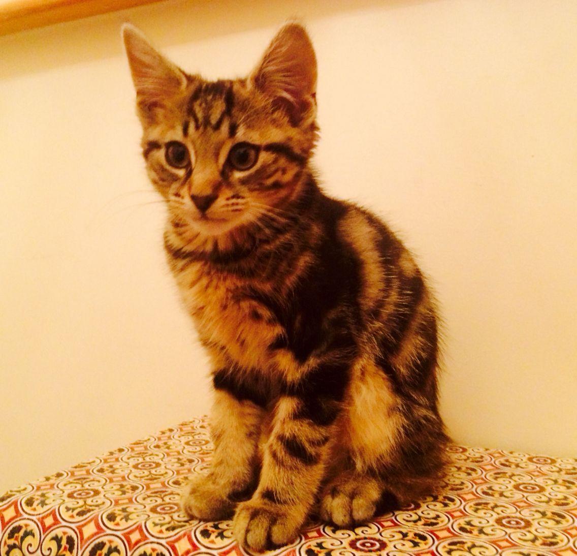 Felix 12 Weeks Old Manx Kittens Tabby Cat I Love Cats