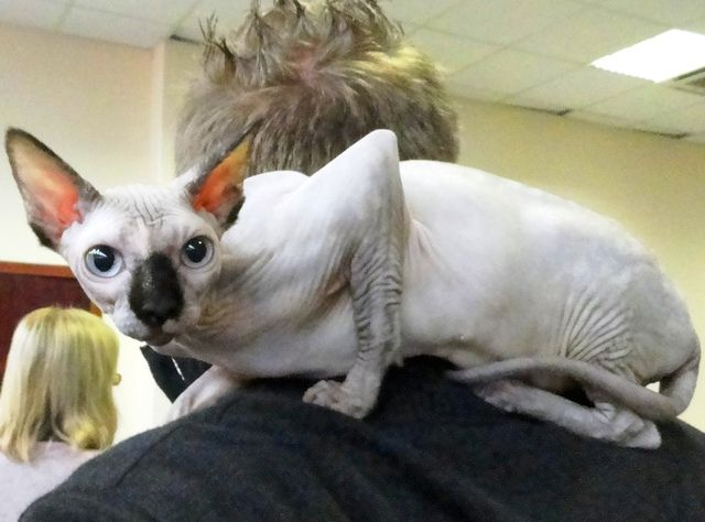 Animals In Budapest Hungary Sphynx Cat Animals Pet A Photo By Vica