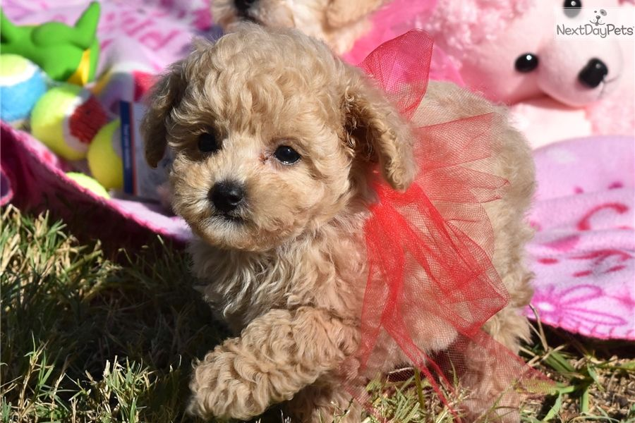 My Sweet And Precious 4 Month Old Maltipoo Teddy Bear Puppies