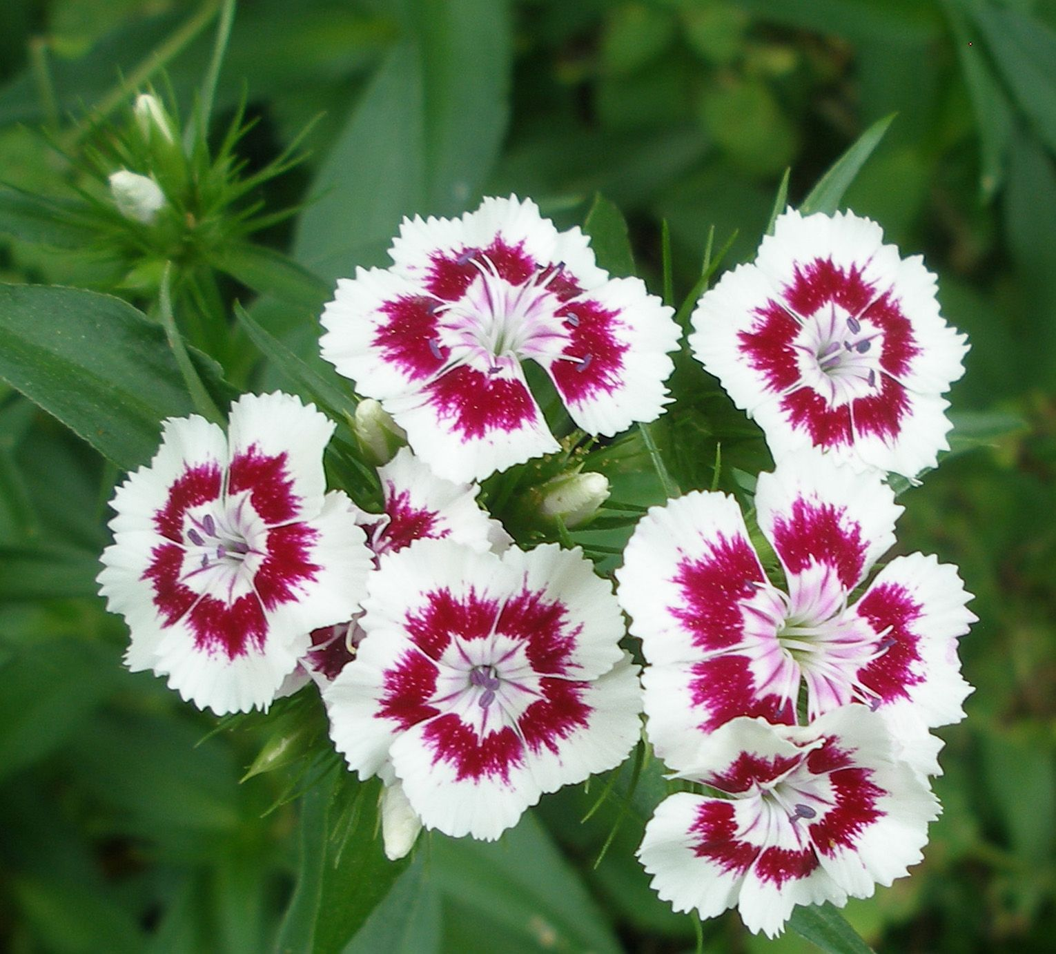 Things I Do Not Seem To Outgrow Sweet William Flowers Sweet William Dianthus Barbatus