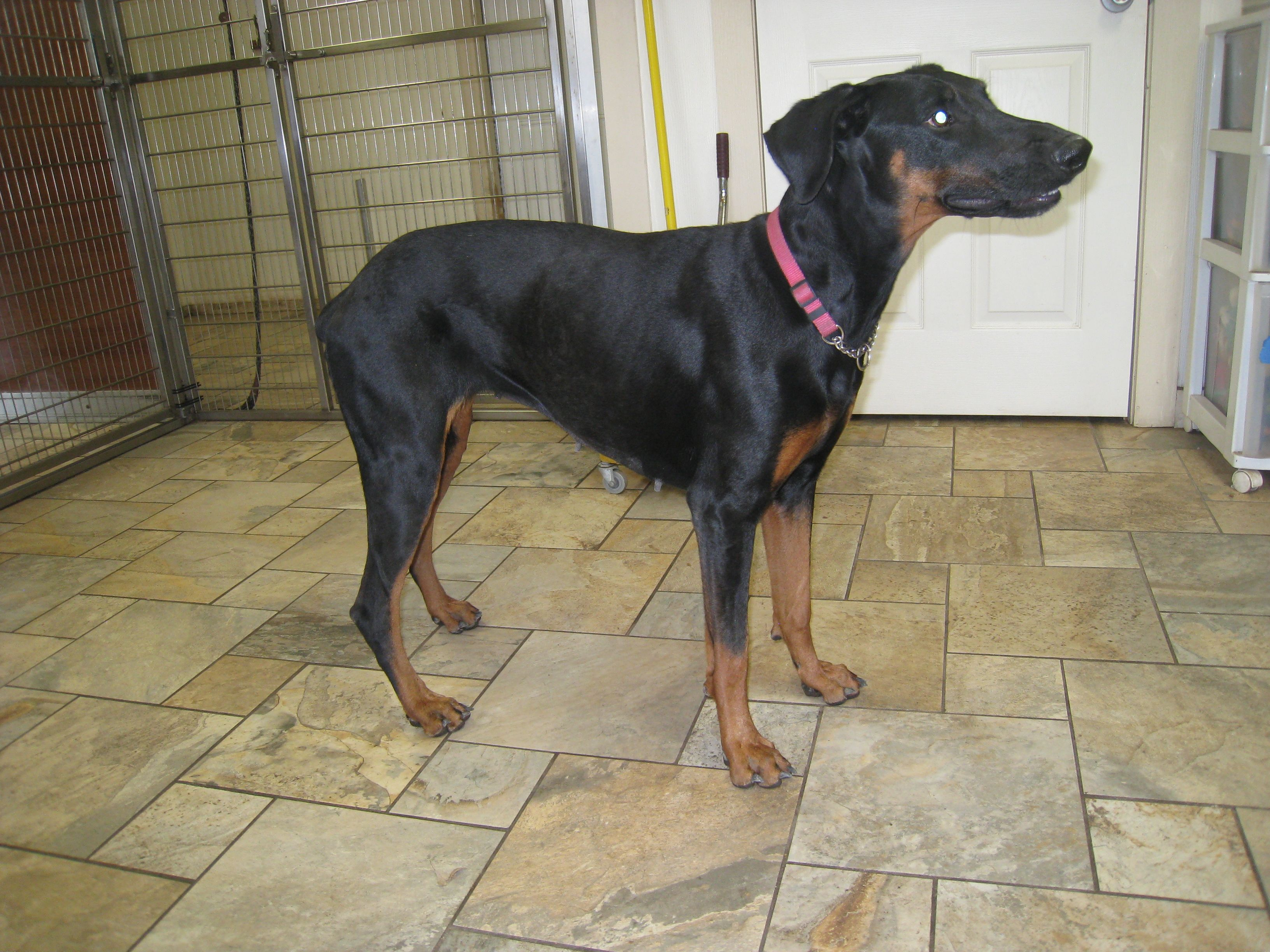 Doberman Pinscher Dog For Adoption In Devine Tx Adn 708982 On Puppyfinder Com Gender Female Age Young With Images Doberman Pinscher Doberman Pinscher Dog Dog Adoption