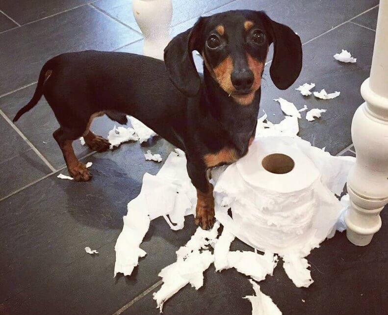 14 Reasons Dachshunds Are The Worst Indoor Dog Breed Of All Time Funny Dachshund Dachshund Dog Dachshund Puppy Miniature