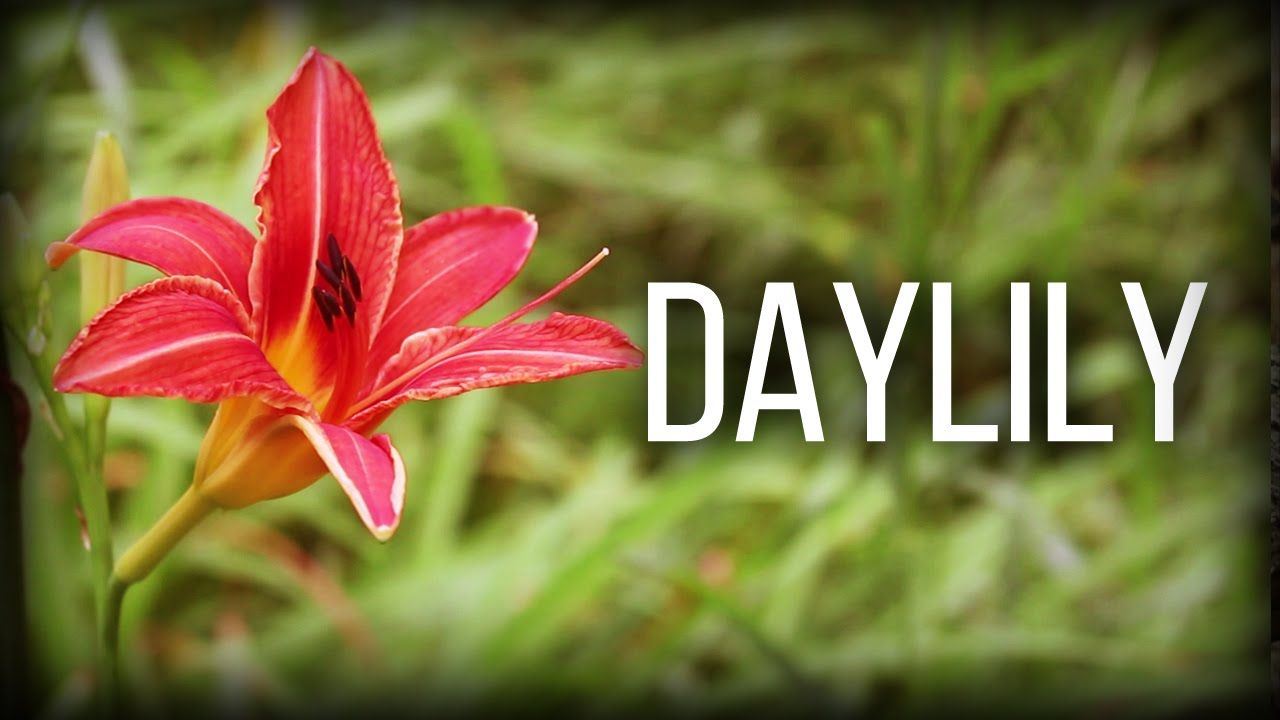 Daylily - Wild Edibles Series