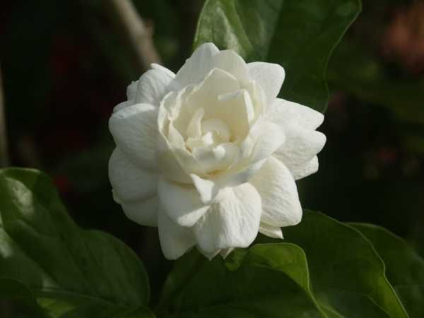 Jasmine Flower Is The Symbol In Mother S Day Of Thailand Jasmine Flower Jasmine Plant Flower Names