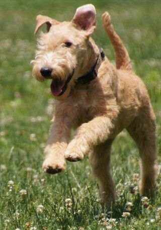 Wheaten Colour Lakeland Terrier One Of The Three Black And Tan