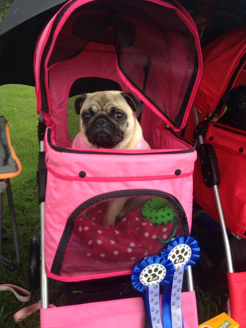 Rosie In Her Pram Pugs Pampered Pooch Pooch