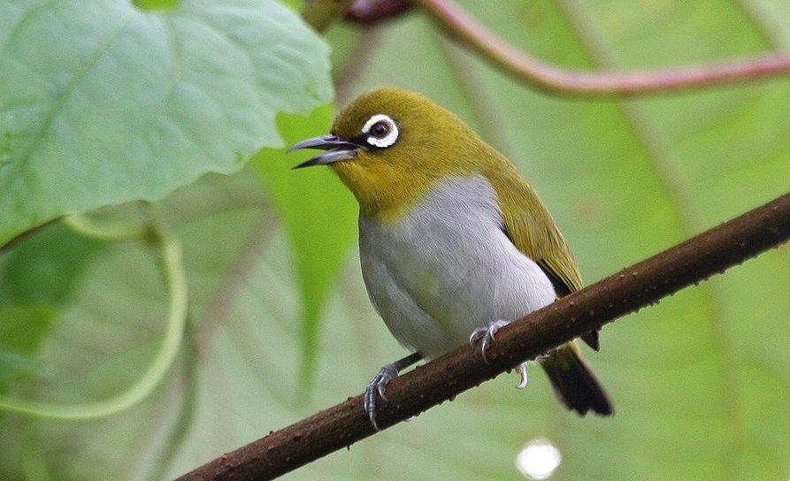 Download Suara Mp3 Pleci Gacor Ngalas Panjang Untuk Masteran Burung Gacor Burung Yunani Suara