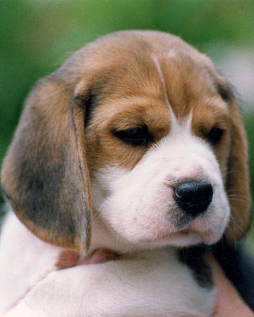 bealge puppiesss<3