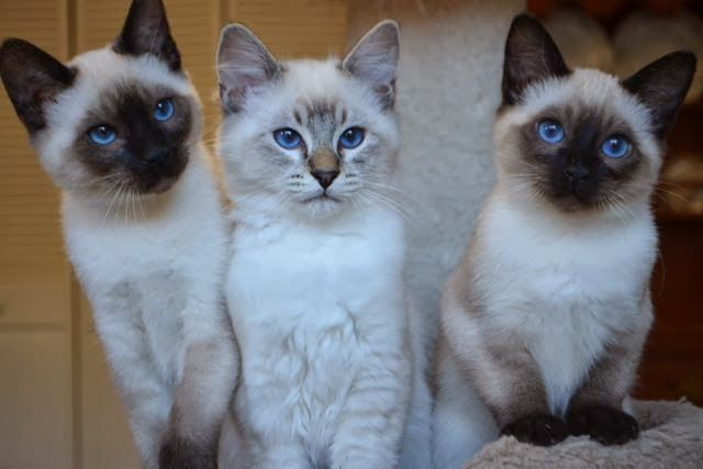 Sold Siamese Balinese Kittens Baliwest Balinese Cat Cat