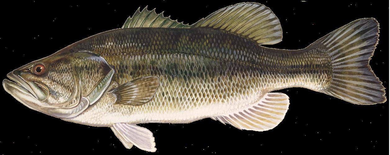 Image Result For Largemouth Bass Largemouth Bass Fishing Largemouth Bass Fish