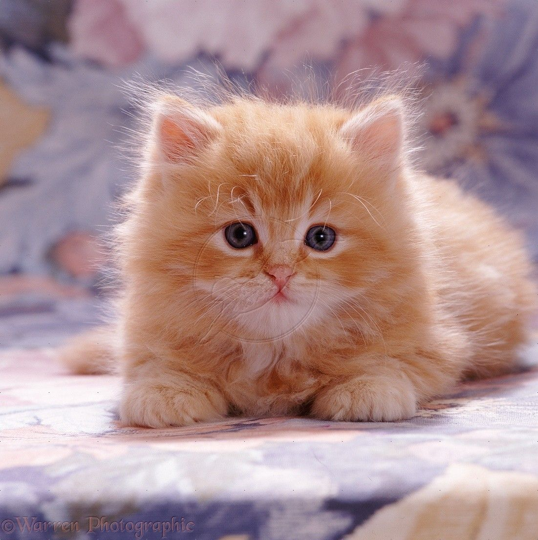 Fluffy Ginger Male Kitten 7 Weeks Old Even Cats Are Better Ginger Cute Cats And Dogs Fluffy Kittens Gorgeous Cats