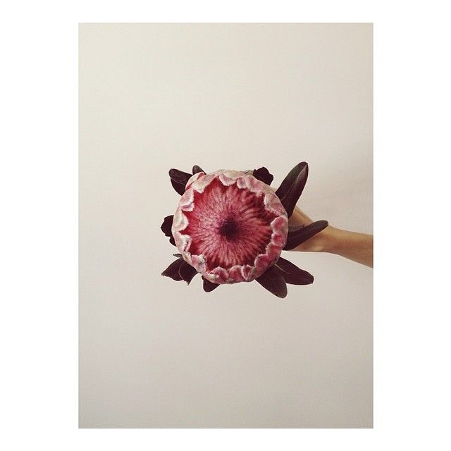 Protea, I love you