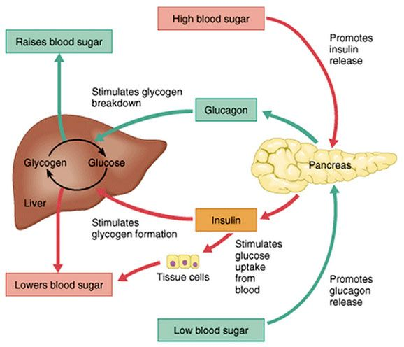 Glucose Metabolism Diagram Insulin And How The Body Controls