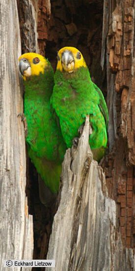 Yellow-faced parrot (Poicephalus flavifrons flavifrons) (Rüppell 1845)