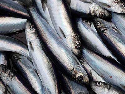 atlantic-herring03