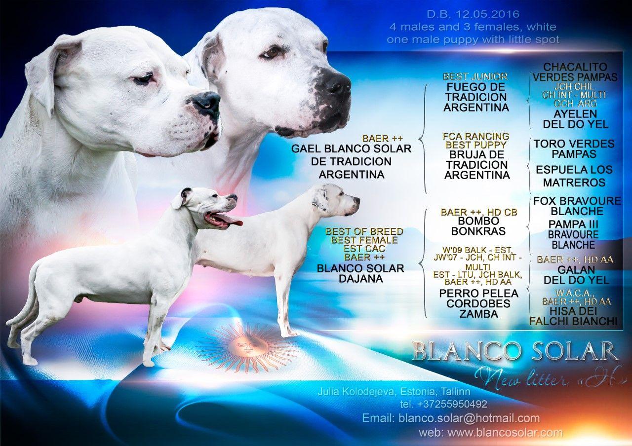 Kutsikad Dogo Argentino Kennel Blanco Solar Dogo Argentino Puppy Breeds