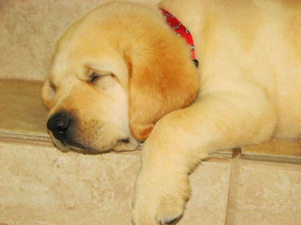 Sleeping Labrador Puppy So So Adorable Dean Cute Labrador Puppies Labrador Puppy Sleeping Puppies