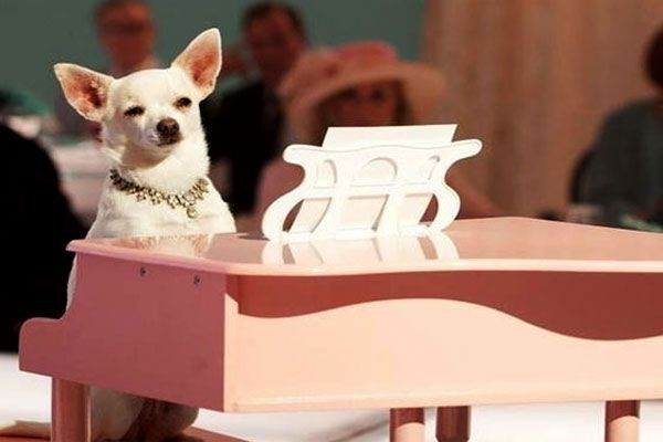 Celebrate With Chloe From Beverly Hills Chihuaha At This Sunday S